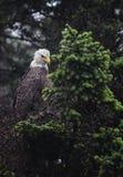 Белоголовый орлан на дереве Стоковая Фотография RF
