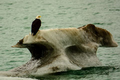 Белоголовый орлан на iceburg Стоковое фото RF