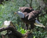 Белоголовый орлан подгоняет вне стоковая фотография