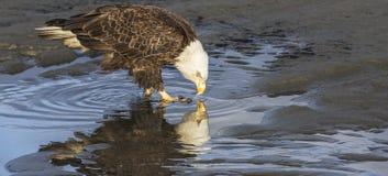 Белоголовый орлан, пункт анкера, Аляска Стоковые Фото
