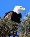 Белоголовый орлан садить на насест в сосне стоковое изображение rf