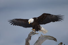 Белоголовый орлан садить на насест на driftwood, почтовом голубе Аляске Стоковые Изображения RF