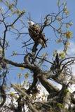 Белоголовый орлан садился на насест в дереве в центральной Флориде Стоковая Фотография RF