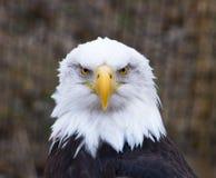 Белоголовый орлан смотря на вперед Стоковое фото RF