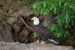 Белоголовый орлан стоя на журнале стоковые изображения