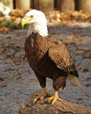 Белоголовый орлан стоя на журнале Стоковая Фотография