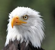 Белоголовый орлан. Стоковое Изображение