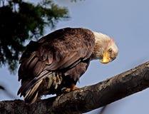 Белоголовый орлан Стоковое Изображение RF