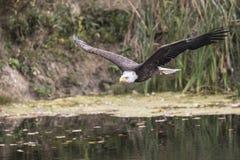 Белоголовый орлан CRC Стоковые Изображения