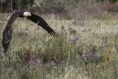 Белоголовый орлан CRC Стоковые Фотографии RF