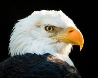 Белоголовый орлан IV Стоковое Изображение