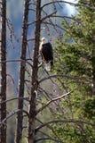 Белоголовый орлан, leucocephalus Haliaeetus Стоковые Изображения RF