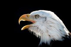 Белоголовый орлан VIII Стоковые Фотографии RF