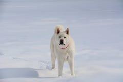 Белое Акита в снеге Стоковая Фотография