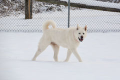 Белое Акита идя в снег Стоковое Изображение RF