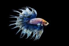 Белое & голубое betta crowntail Стоковые Изображения RF