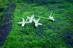 Белое дерево пробочки Стоковая Фотография RF