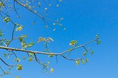 Белое дерево silk хлопка в сезоне эфлоресценции Стоковое Изображение RF