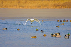 Белое летание лебедя Стоковое Фото
