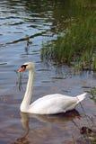 Белое заплывание лебедя в воде озера Стоковые Фото