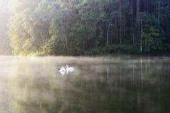 Белое заплывание лебедя в озере стоковые фотографии rf