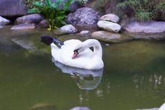 Белое заплывание лебедя в пруде Стоковые Изображения