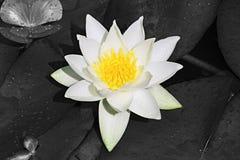 Белое и желтое Lilly Стоковые Фотографии RF