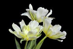 3 белое и желтые тюльпаны Стоковые Изображения RF
