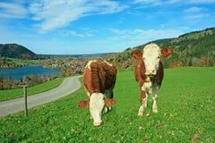 2 белое и коричневые brindled молочные коровы в баварском ландшафте Стоковое фото RF