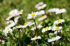 Белое и одичалое поле маргаритки Стоковые Изображения