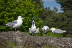 4 белое и серая чайка на камне гранита Стоковые Фотографии RF