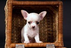 Белое красивое малое усаживание щенка чихуахуа стоковое фото rf