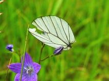 Белое крыло бабочки на лист Стоковое Изображение