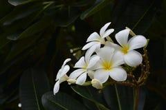 Белое названное цветение plumeria Стоковое Изображение