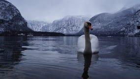 Белое озеро гусыни Стоковое Изображение RF