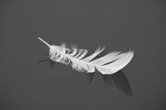 Белое перо птицы изолировало плавать на неподвижное изолированное озеро воды в черно-белом Стоковые Фото