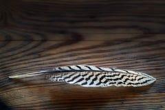Белое перо с черными нашивками от серебряного фазана на темноте стоковое фото rf