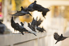 Белое пребывание голубя в середине черно-серых голубей летая ou Стоковая Фотография