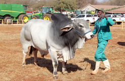 Белое руководство быка Брахмана фото обработчика Стоковое фото RF