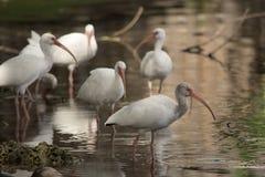 Белое стадо ibis отдыхая на одной ноге в спокойном пруде Стоковое фото RF
