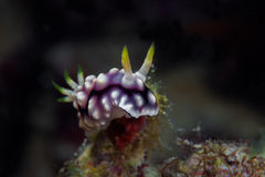 Белое, фиолетовое и черное nudibranch Подводное фото philippine стоковые фото