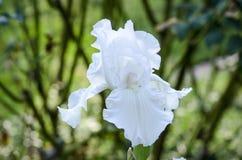 Белое цветене 3 радужки Стоковое Изображение