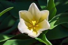 Белое цветене тюльпана Стоковая Фотография