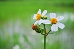 Белое цветене Стоковое Изображение