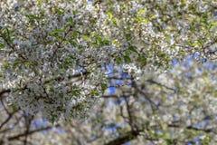 Белое цветение вишни Стоковые Изображения RF