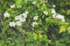 Белое цветение на сочной зеленой ветви Стоковые Фотографии RF
