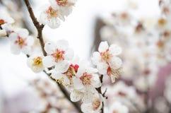 Белое цветение сливы Стоковые Изображения RF