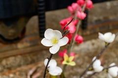 Белое цветение сливы Стоковое Изображение RF
