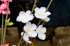 Белое цветение сливы Стоковая Фотография
