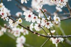 Белое цветение цветка вишни, весна Стоковое Изображение